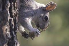 吃未知的生物的灰鼠 免版税库存照片