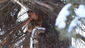 吃杉树种子的红松鼠在冬天 股票视频