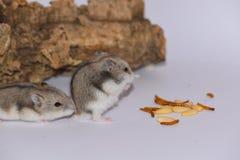 吃松果的西伯利亚仓鼠 免版税库存照片