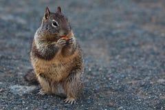 吃果子小的可爱的土拨鼠 免版税库存照片