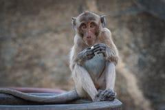 吃果子快餐的猴子 免版税库存照片