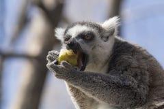吃果子的一只圈状的尾巴狐猴的画象 库存图片