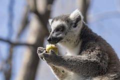 吃果子的一只圈状的尾巴狐猴的画象 库存照片