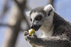 吃果子的一只圈状的尾巴狐猴的画象 免版税库存图片