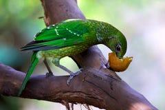 吃果子的绿色猫声鸟 免版税库存图片