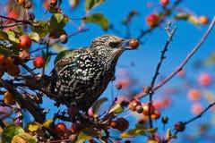 吃果子被察觉的starling的结构树的苹果 库存照片