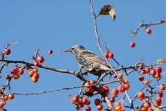 吃果子被察觉的starling的结构树的苹果 库存图片