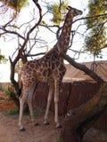 吃树叶子和分支的长颈鹿 免版税库存图片