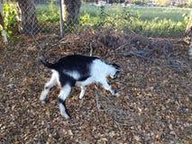 吃树叶子的山羊身分 库存图片