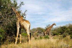 吃树的叶子的长颈鹿 南非徒步旅行队动物 库存图片