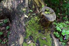 吃树的青苔 库存图片