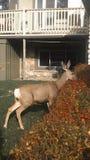吃树篱的秋天母鹿 库存图片