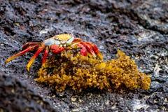 吃桔子的螃蟹 库存照片