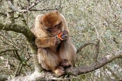 吃桔子的巴巴里人猴子 免版税图库摄影