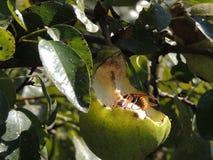 吃梨的大黄蜂 免版税库存图片