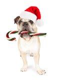 吃棒棒糖的圣诞节牛头犬 免版税库存照片