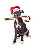 吃棒棒糖的淘气圣诞节小狗 免版税图库摄影