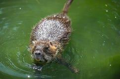 吃植物的成人海狸 海狸在湖 海狸在水中我 免版税库存图片