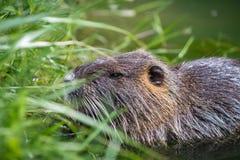 吃植物的成人海狸 海狸在湖 海狸在水中我 图库摄影