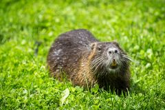 吃植物的成人海狸 海狸在湖 海狸在水中我 库存图片