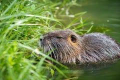 吃植物的成人海狸 海狸在湖 海狸在水中我 库存照片