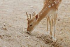 吃植物的母鹿在鸟舍 免版税库存图片