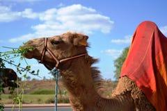 吃植物的骆驼 免版税库存照片