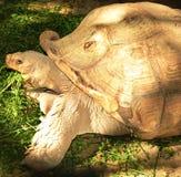吃植物(陆地龟)的赫尔曼的草龟 免版税库存图片