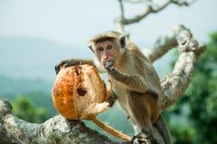 吃椰子的猴子 免版税库存图片