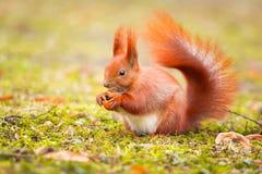 吃榛子的红松鼠 免版税库存照片