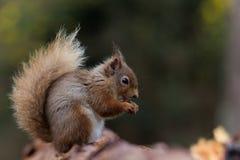 吃榛子的红松鼠 免版税图库摄影