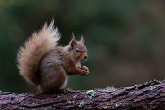 吃榛子的红松鼠 免版税库存图片