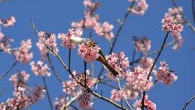 吃樱花树的花蜜逗人喜爱的小的鸟 股票视频