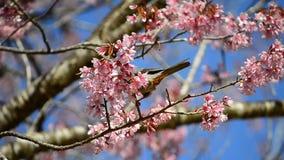 吃樱花树的花蜜逗人喜爱的小的鸟 股票录像