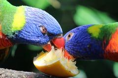 吃橙色切片的彩虹lorikeets 免版税图库摄影