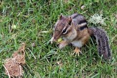 吃橡子的花栗鼠 免版税库存照片