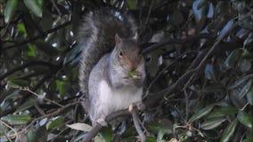 吃橡子的英国灰色灰鼠在冬天