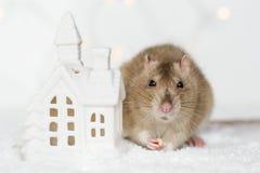 吃款待的滑稽的面孔鼠在圣诞节斯堪的纳维亚房子罐头 免版税库存照片