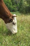 吃母牛 库存图片