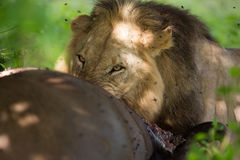 吃水牛胴体肉的狮子 免版税图库摄影
