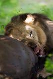 吃水牛胴体肉的狮子 免版税库存图片