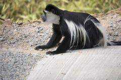 吃沥青的黑白短尾猴 库存图片
