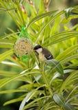 吃油脂和种子的球山雀 免版税库存照片