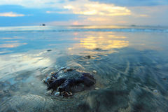 吃海的螃蟹在日落 库存照片