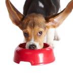 吃滑稽的小狗的小猎犬 免版税库存图片