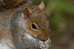 吃灰色螺母灰鼠 免版税库存照片