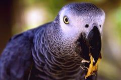吃灰色鹦鹉的非洲人 库存图片