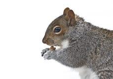吃灰鼠的面包屑 库存照片