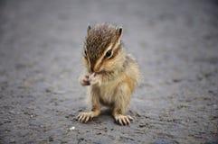 吃灰鼠的婴孩 免版税图库摄影