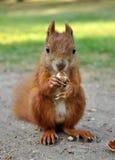 吃灰鼠 免版税图库摄影